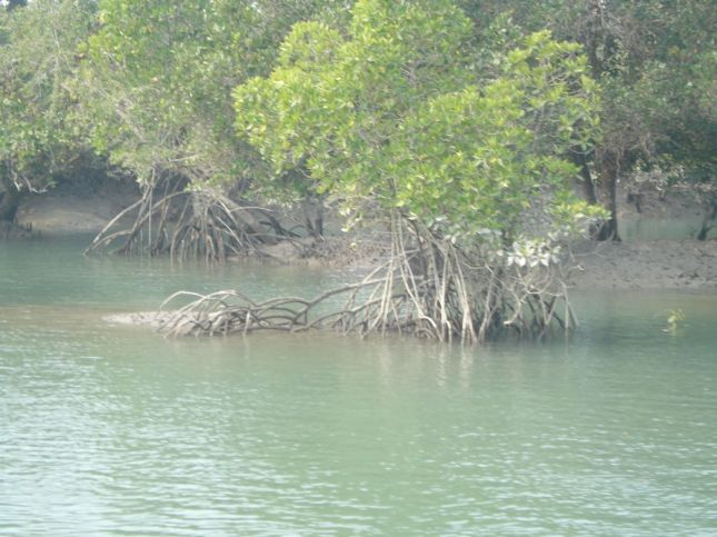 Stemless Garjan Tree at Sundarban