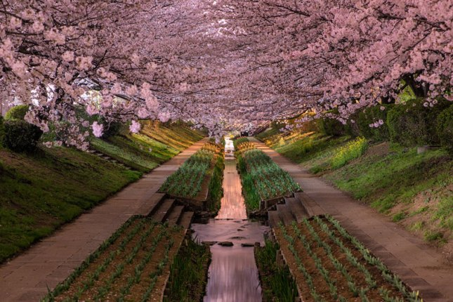 29-Photos-That-Will-Inspire-You-To-Travel-cherry-blossoms-in-bloor-yokohama-japan-hanami