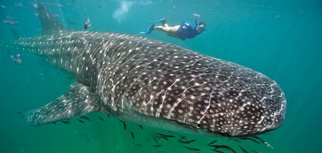 29-Photos-That-Will-Inspire-You-To-Travel-whale-sharks